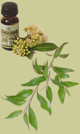 lemon myrtle oil with leaves