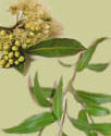 lemon myrtle leaves and blossoms